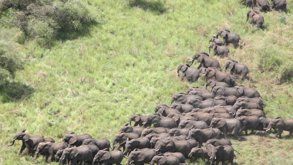Elephants cross the plains of the Boma-Jonglei landscape in South Sudan.[Photo by Paul Elkan and Jeremy Gustafson]